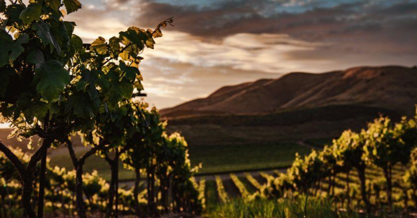 Grape harvest at Abrau-Durso vineyards begins this week